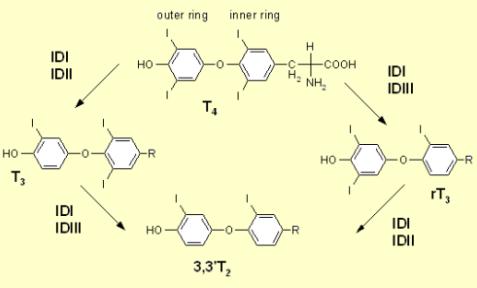 Iodothyroninedeiodinase6